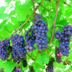foto dei frutti delle barbatelle di vite pinot_grigio (2) Uva da vino rossa