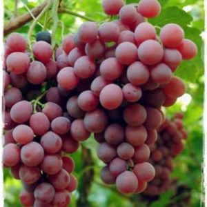 foto dei grappoli d'uva red-globe barbatelle di vite AnticoPomario uva