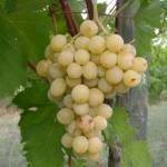 foto grappolo di uva Afrodite