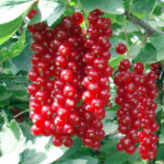 ribes-jonkheer-van-tets pianta di ribes online anticopomario dalmonte vivai