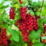 rubrum-Jonkheer pianta di ribes online anticopomario dalmonte vivai