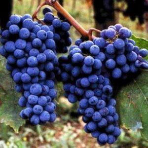 foto dei frutti delle barbatelle di vite sangiovese Uva da vino rossa