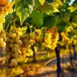 spergola-Uva da vino rossa Barbatelle AnticoPomario Dalmonte vivai viti