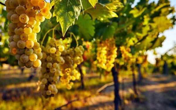 foto dei frutti delle barbatelle di vite da vino bianco spergola