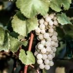 spergola Uva da vino Barbatelle AnticoPomario Dalmonte vivai viti