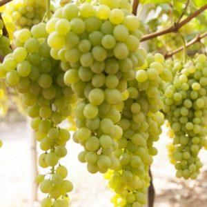 foto dei grappoli d'uva sultanina