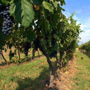 foto dei grappoli d'uva terrano
