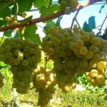 uva-Chardonnay Uva da vino rossa Barbatelle AnticoPomario Dalmonte vivai viti