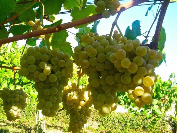 foto dei frutti delle barbatelle di vite uva-Chardonnay