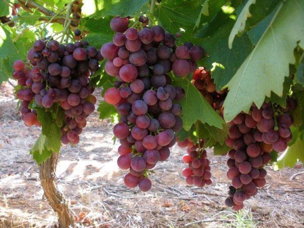 foto dei grappoli d'uva uva-cardinal