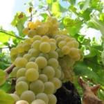foto dei grappoli d'uva-moscato di alessandria