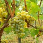 uva-moscato di alessandria Uva da tavola bianca Barbatelle AnticoPomario Dalmonte vivai viti