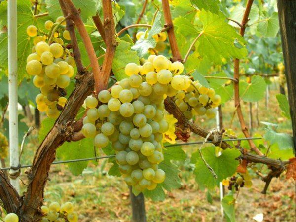 foto dei grappoli d'uva moscato di alessandria