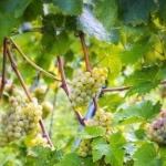 uva-pignoletto_colli-bolognesi Uva da vino rossa Barbatelle AnticoPomario Dalmonte vivai viti