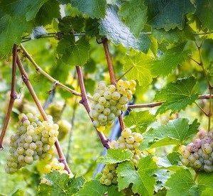 foto dei frutti delle barbatelle di vite uva-pignoletto_colli