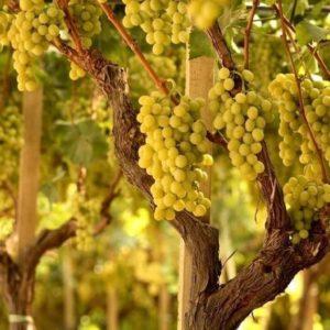 foto dei grappoli d'uva regina
