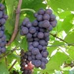 foto dei frutti delle barbatelle di vite pinot_grigi