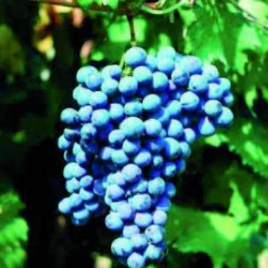 foto dei frutti delle barbatelle di vite verrucese_1