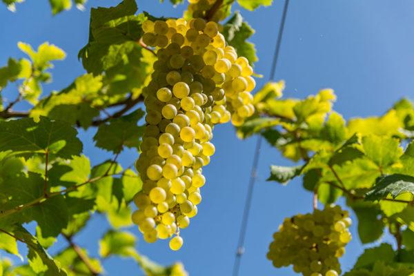 foto dei frutti delle barbatelle di vite vino-albana Uva da vino