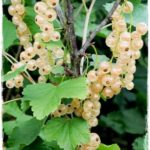 witte-hollander pianta di ribes in vendita online su AnticoPomario