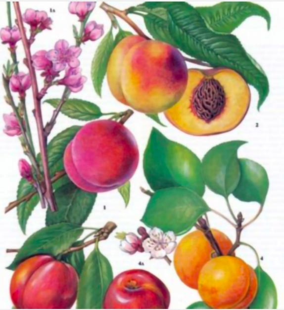 Catalogo frutti antichi Anticopomario vendita piante online