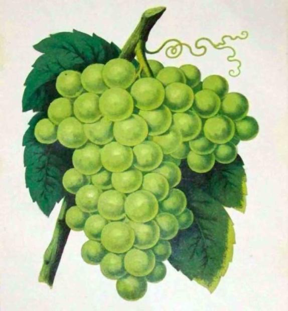 Catalogo barbatelle di vite. Vendita piante d'uva online